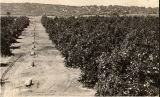 El Cajon Orange Grove