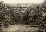 Latticed Orange Grove