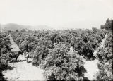 Citrus Grove Between San Dimas and Glendora