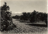 Citrus Grove With View of Mt. Baldy