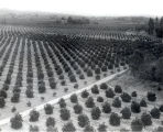 San Dimas Area Citrus Grove