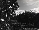 Citrus Grove and Mt. Baldy