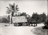 Hauling Oranges to the Packing House