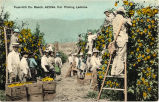 Foot-Hill Co. Ranch, Azusa, Cal. Picking Lemons