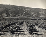 Southern California Vineyard