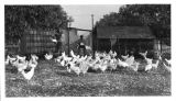 Geo J. Richardson White Leghorn Breeding Farm and Hatchery San Gabriel, California