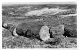 Mammoth Cross Sections of Petrified Trees Petrified Forest National Monument, Arizona