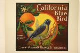 California Blue Bird